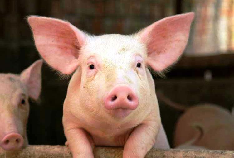 Pig placenta