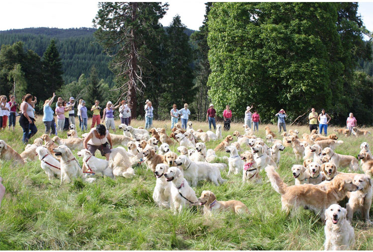 Golden Retriever festival