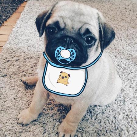 Mini Pug
