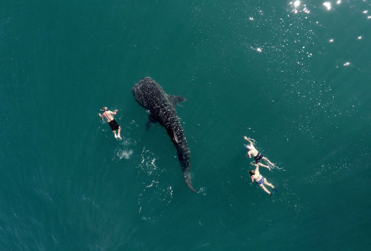Whale Shark and tourists