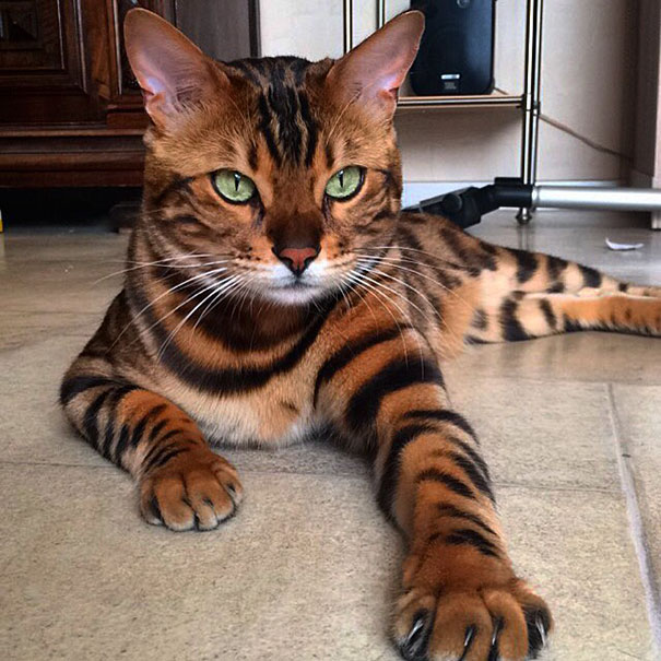 These beautiful cats resemble the Asian leopard cat