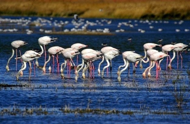 A group of flamingos is called a flamboyance