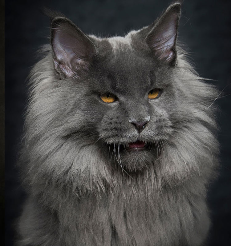 Many Maine Coons had extra toes on the feet