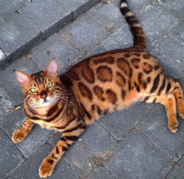 Bengal cat $1,000-$4,000