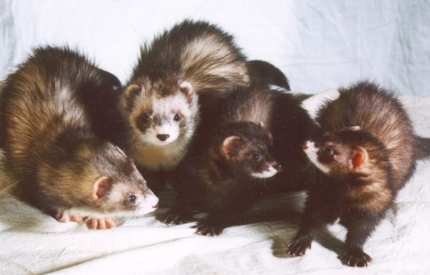 A group of ferrets is called a business of ferrets