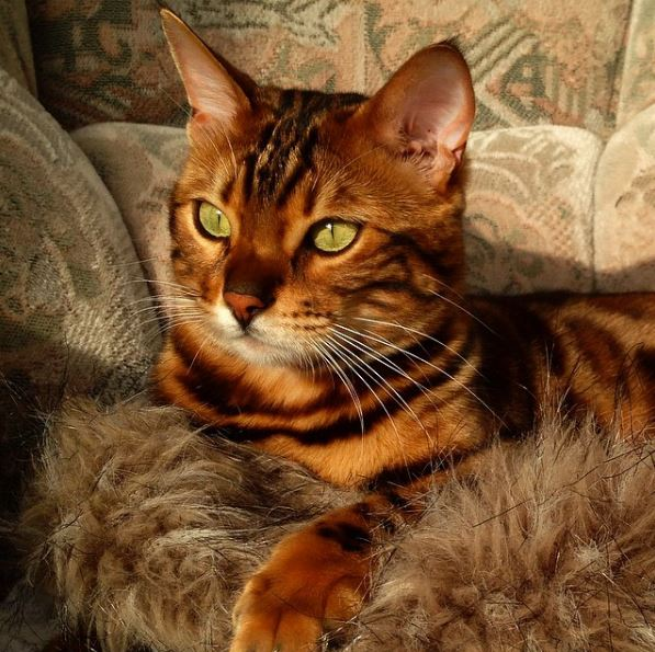 Some Bengals carry the recessive long-haired genes
