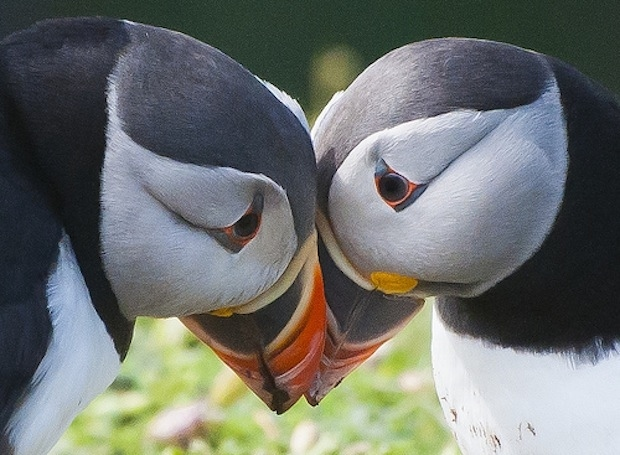 Puffins mate for life