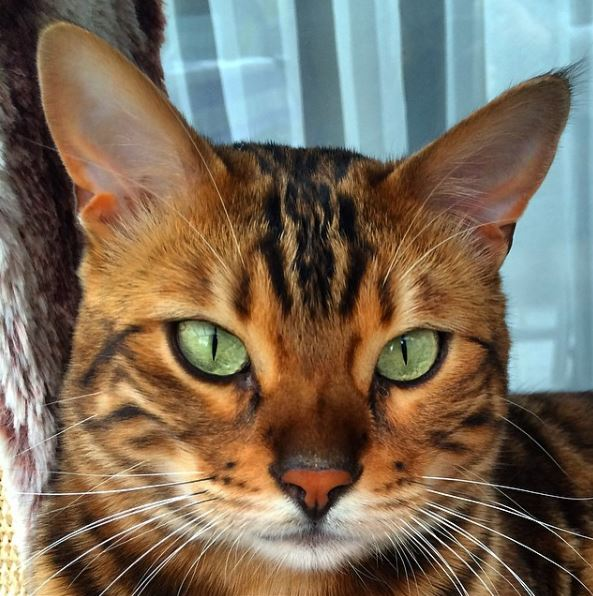 A guide to buying Bengal cats