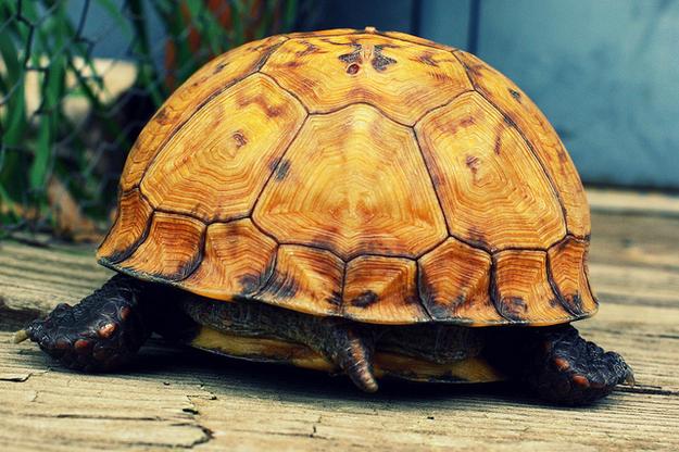 Turtles can breathe through their butt