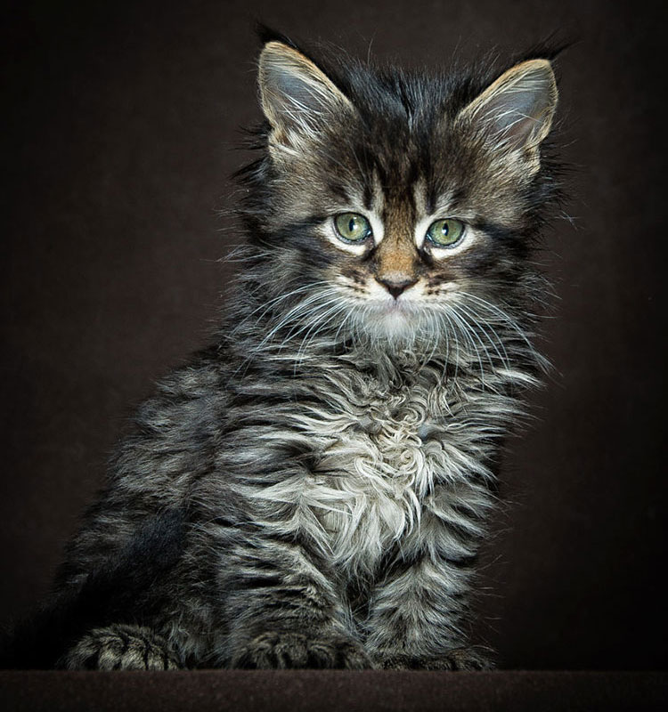 Brown tabby is the most common pattern