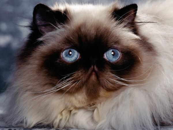 Himalayan cat $500-$1,300