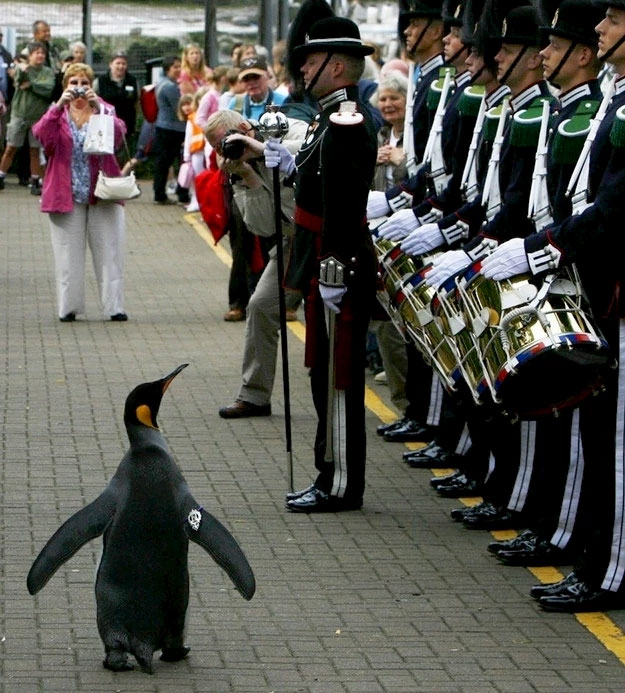 Norway knighted a penguin named Nils Olav; he is the mascot for the Norwegian Royal Guard