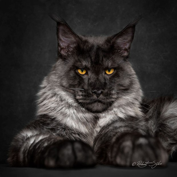 Maine Coons $600-$1,500