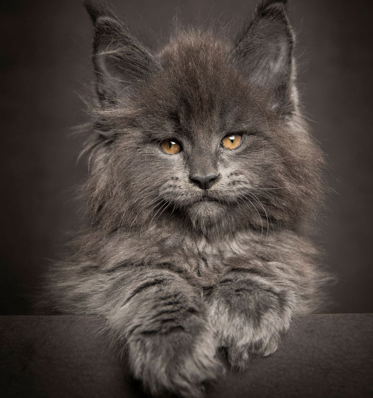 They look like the Norwegian Forest Cat