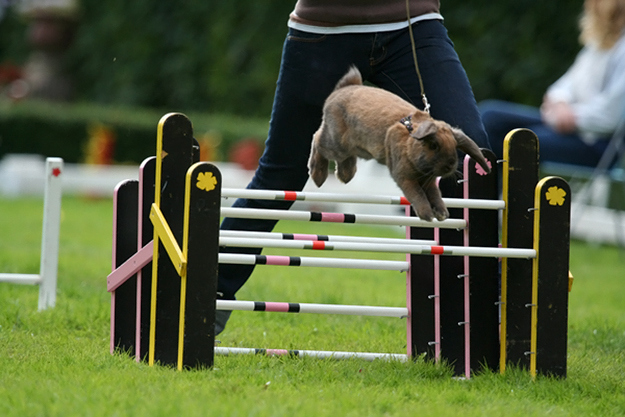 There's a competition in Sweden called Kaninhoppning, or rabbit show jumping