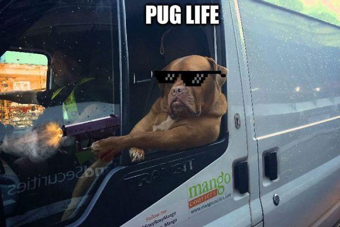 Pug Life Is Real