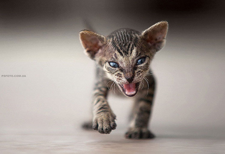 Fierce kitty