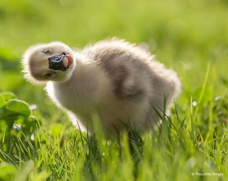 Lovely duckling