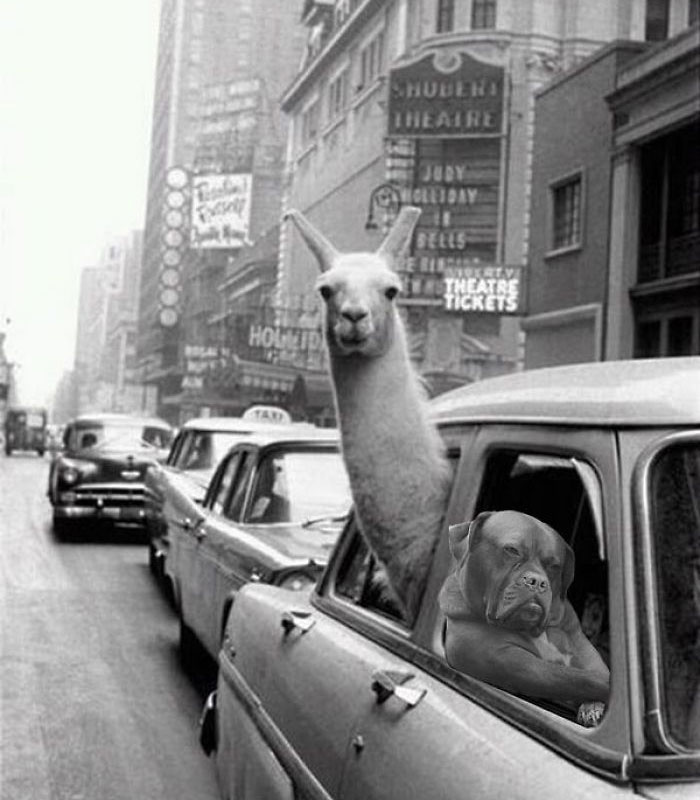 Just Play It Cool Llama