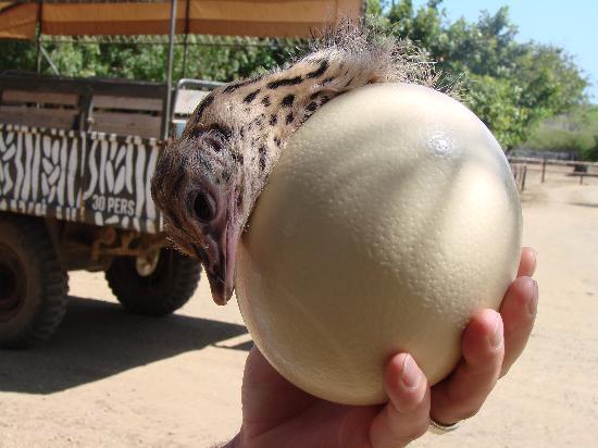 Ostrich Babysitter