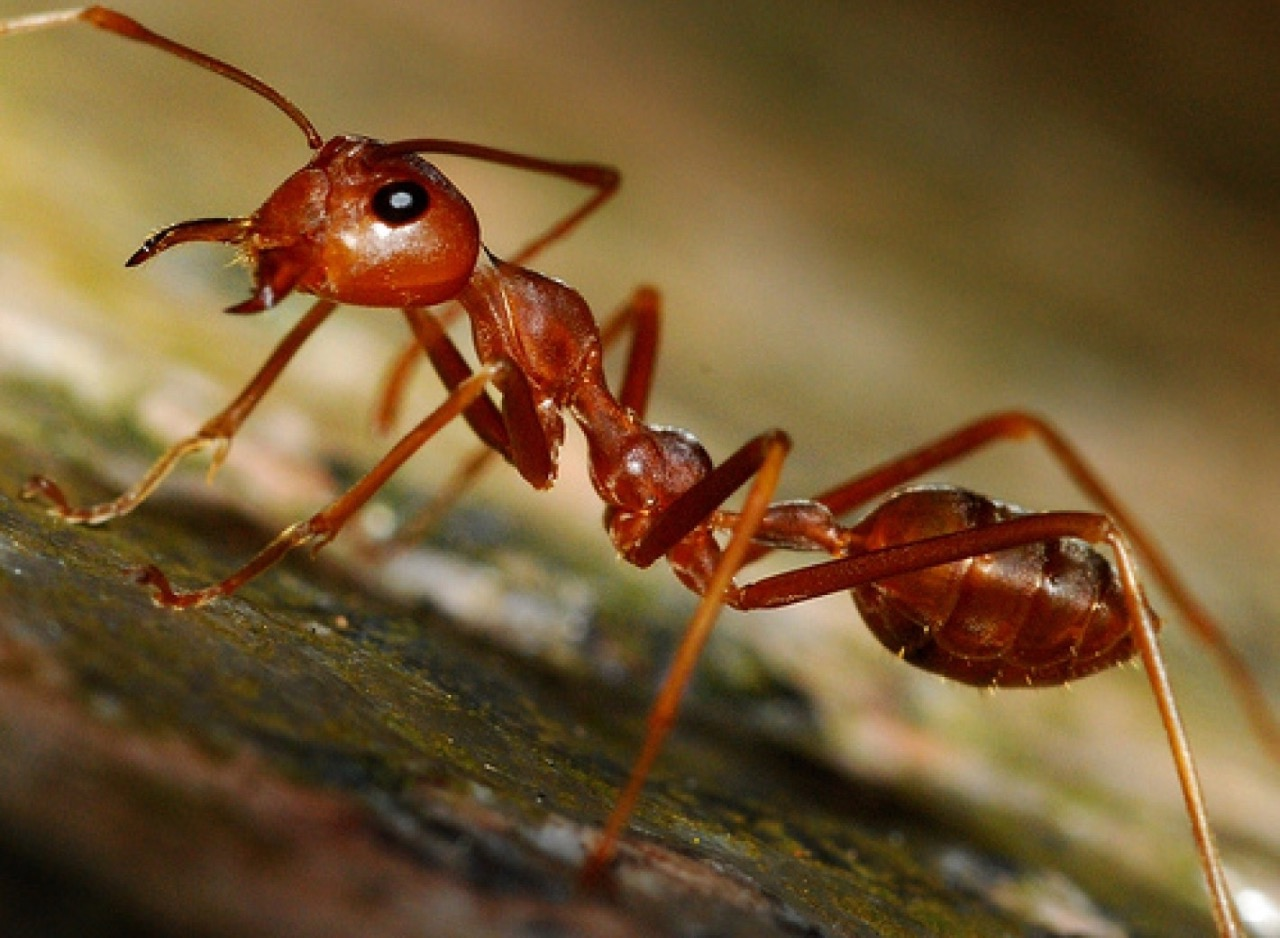 Siafu - Army Ants