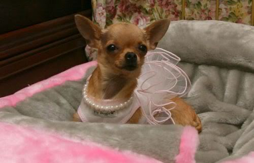 Conchita is the most spoiled chihuahua ever