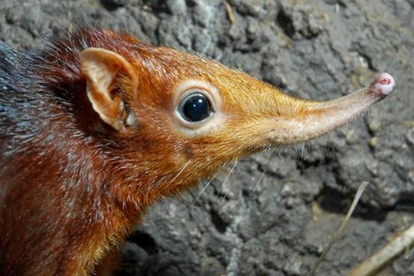 Shrew, the first Mammal specie