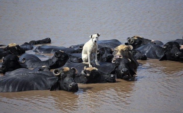 A dog protected by a group of buffalos