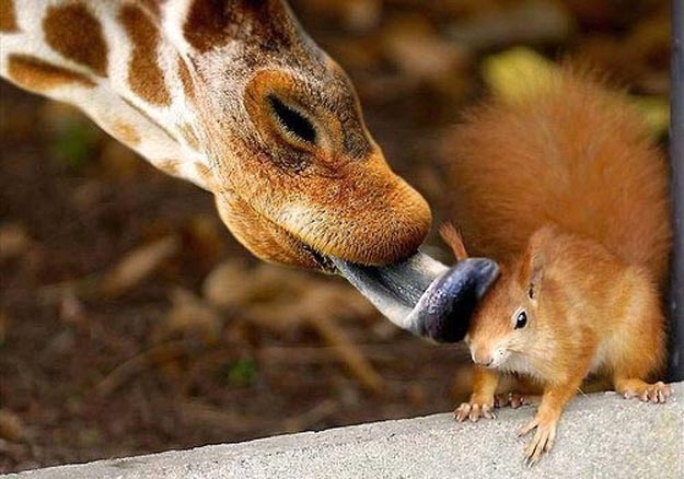 A Giraffe licking a squirrel