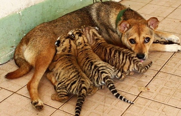 A dog that takes cares of 3 little tigers