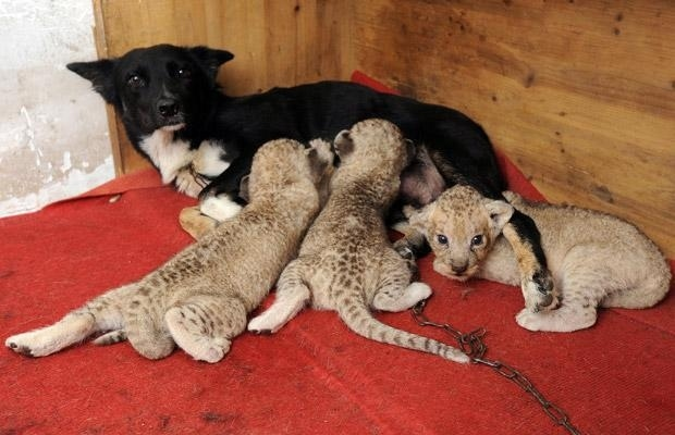 A Dog Caring for 3 little Lions