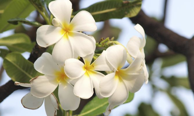You can't have jasmine flowers