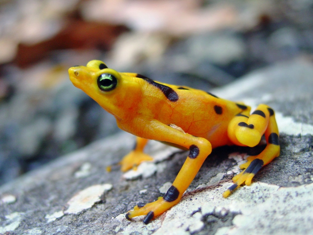 The golden frog suffocates you in seconds