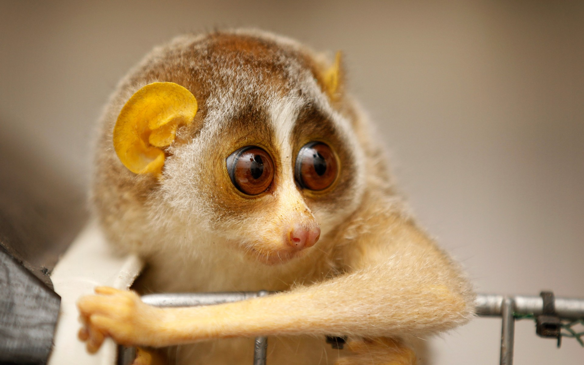 The fearsome Slow loris