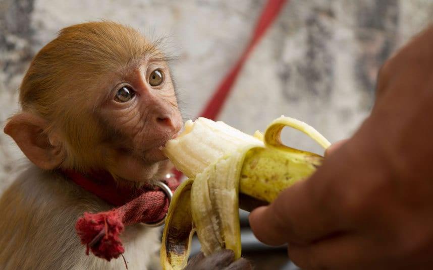 Chunmun is the richest monkey