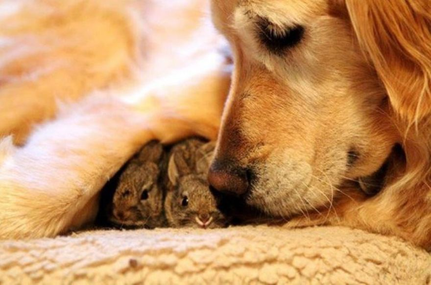 A dog that adopted two rabbits