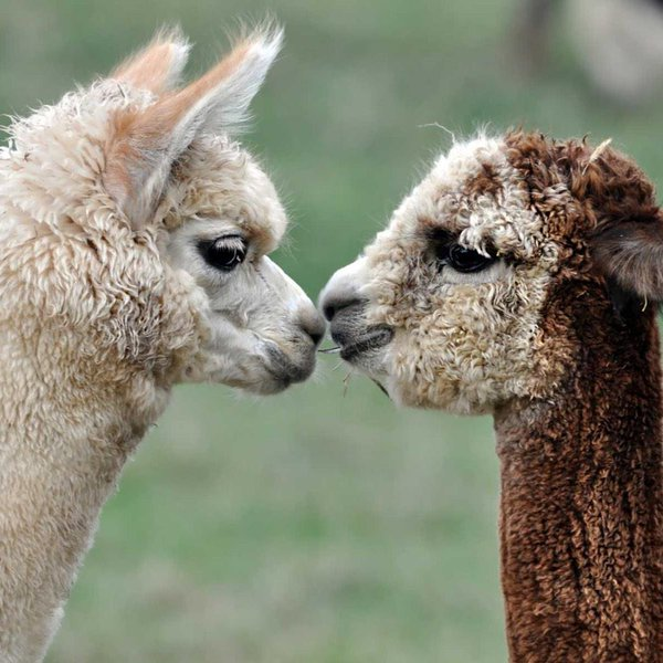 Alpacas die if they don't find a partner