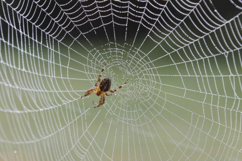 Spiders eat their webs