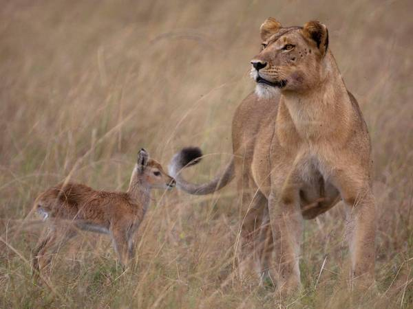 Lioness and antelope calf