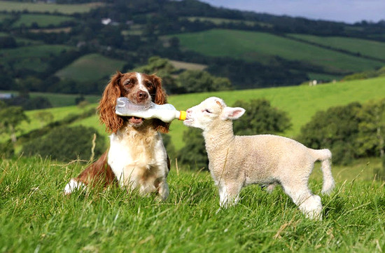 The spaniel and the sheep