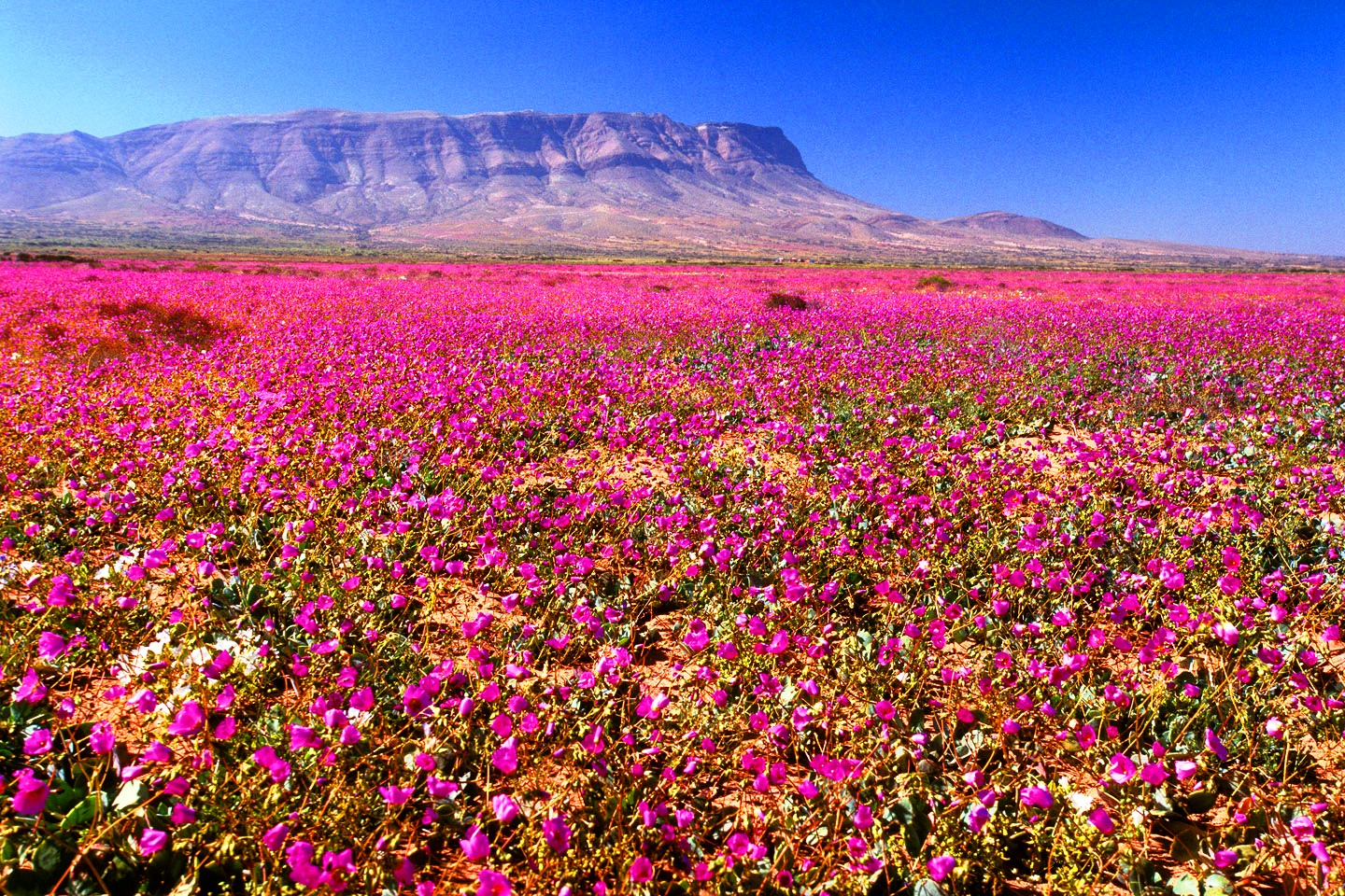The desert of flowers, Chile