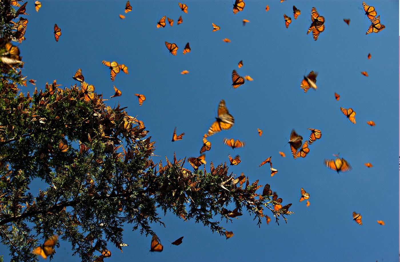 The monarch butterflies migration