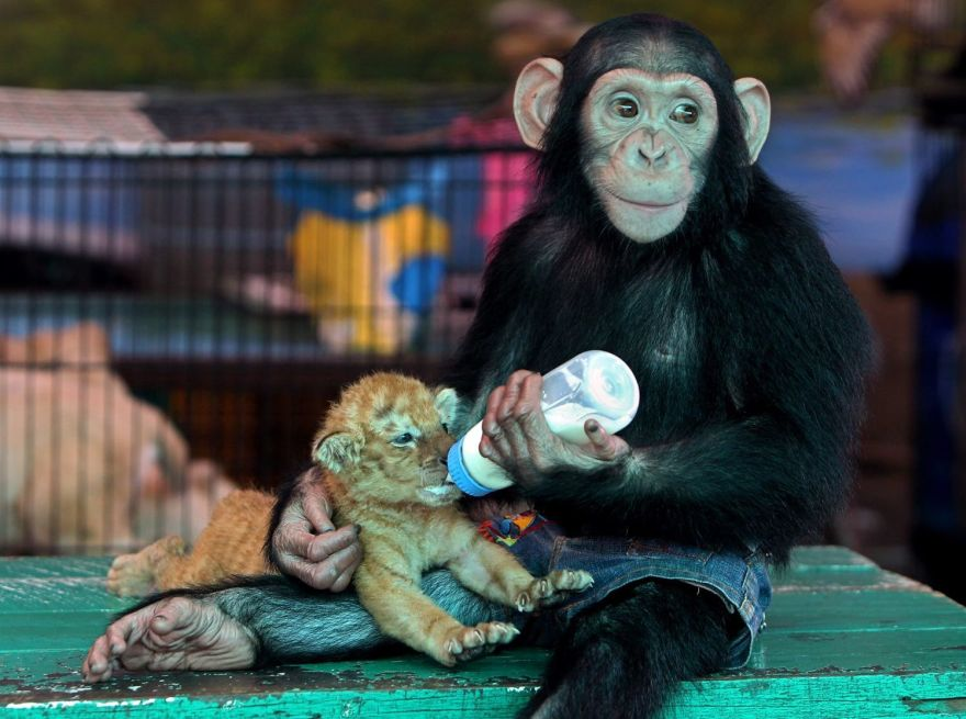 Chimp Adopts Tiger Cubs