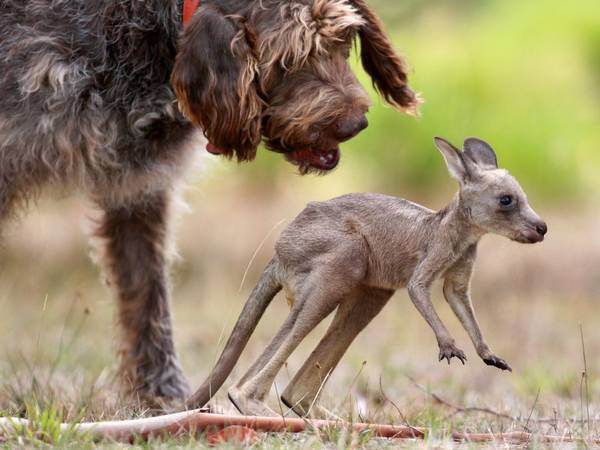 The dog and the kangaroo