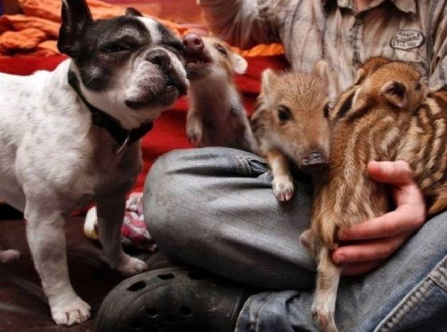 Dog & piglets