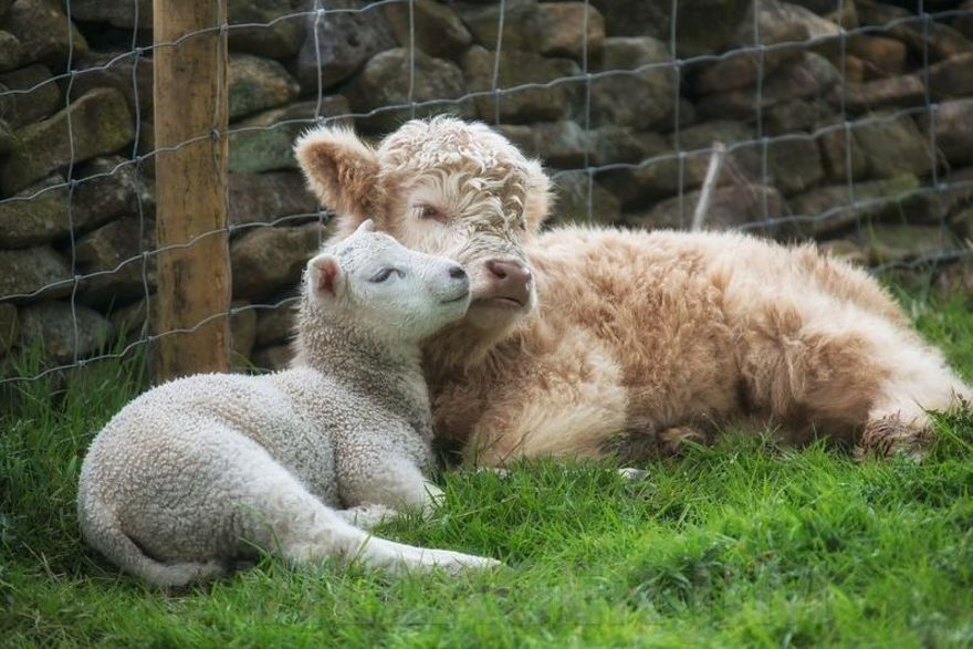 Calf and lamb