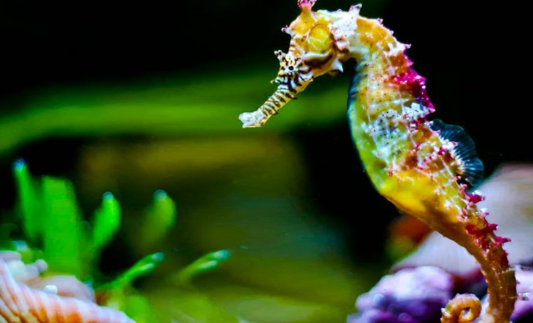 Seahorses die of love