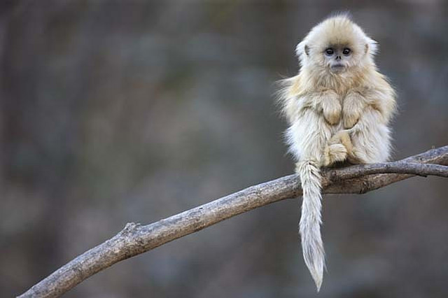 Langur chato Monkey