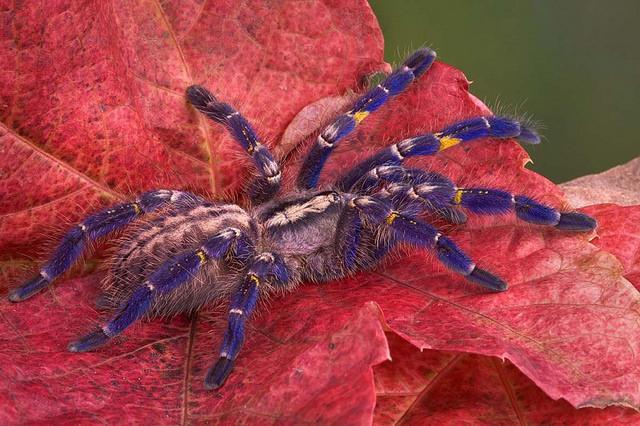 Gooty Sapphire Ornamental Tarantula