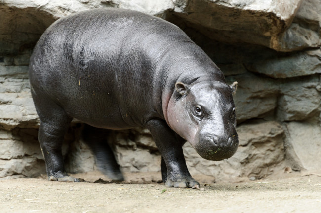 The pygmy hippopotamus